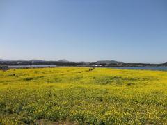 済州島の菜の花
